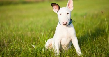 Bull Terrier Growth Chart