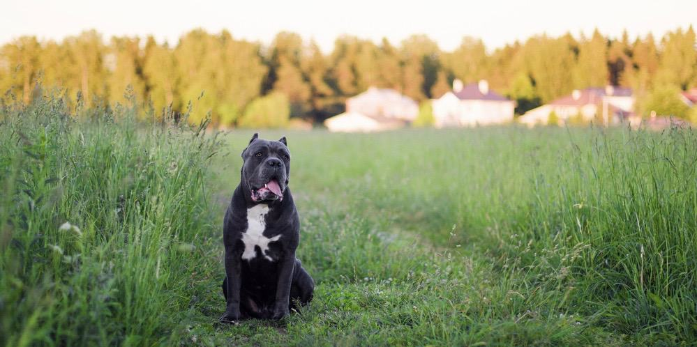Cane Corso One Year Expenses