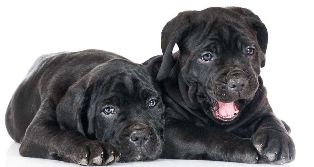 Cane Corso Puppy Cost