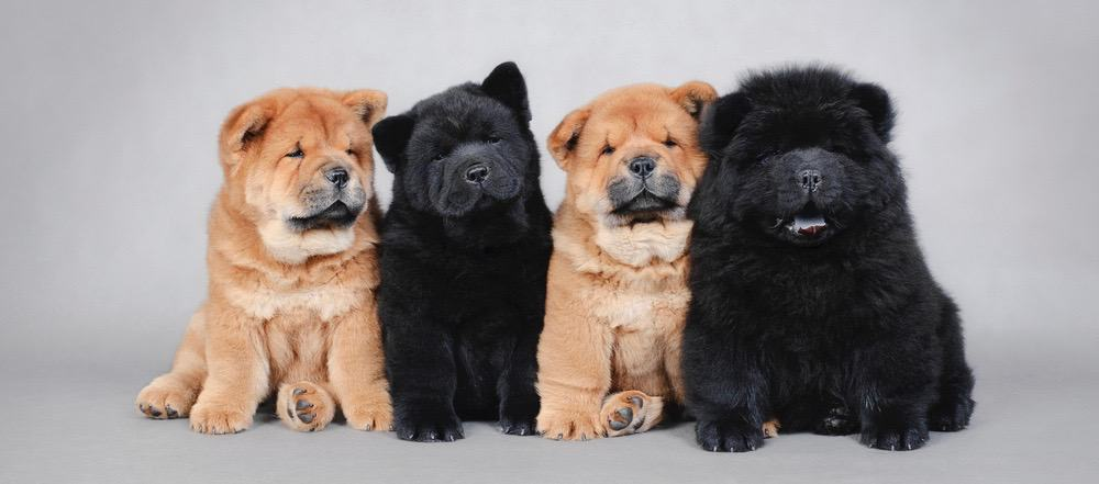 Chow Chow Fully Grown