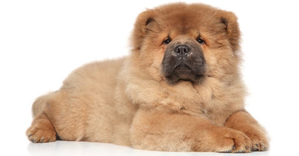 Chow Chow Weight Chart