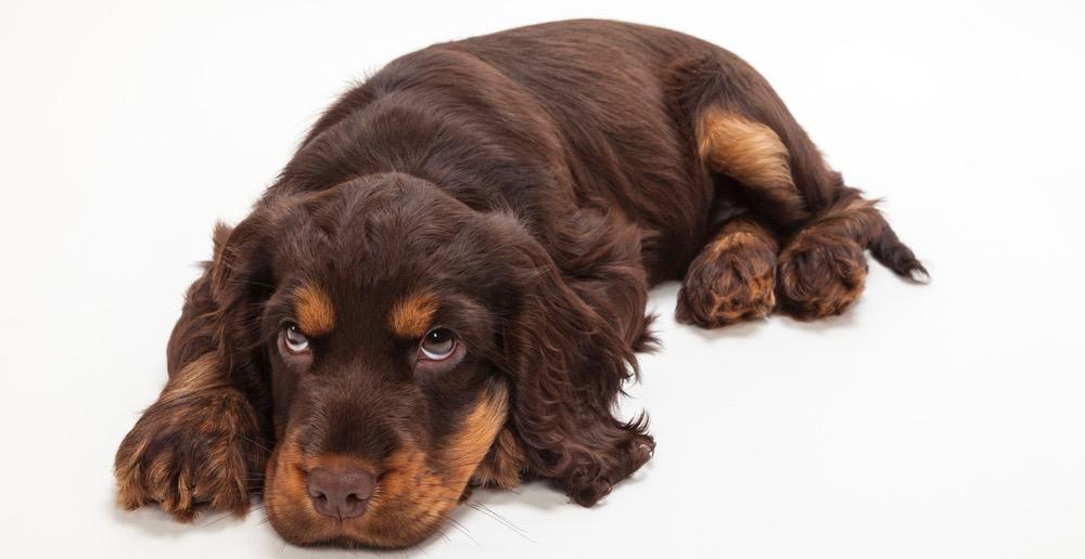 Cocker Spaniel Puppy Cost