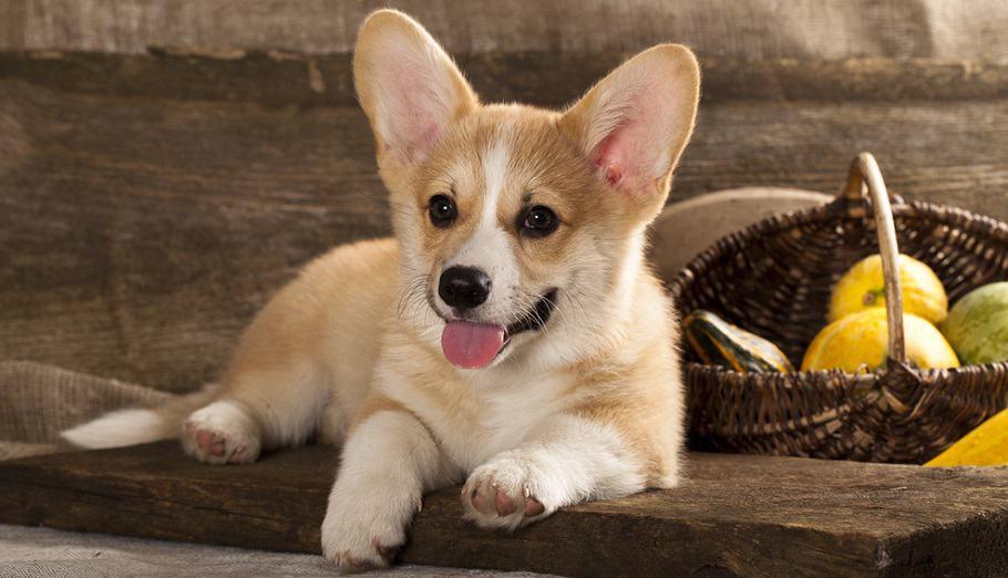 Corgi Puppy Calorie Requirement