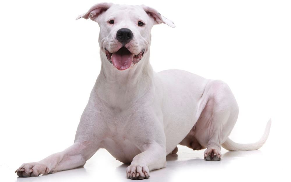 Dogo Argentino Development