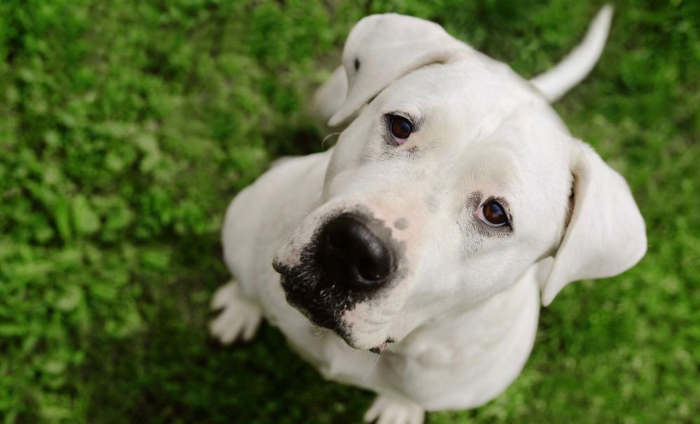 Dogo Argentino Puppy Development