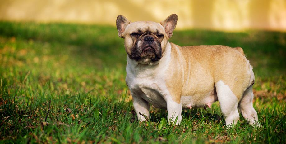 French Bulldog Growth Factors