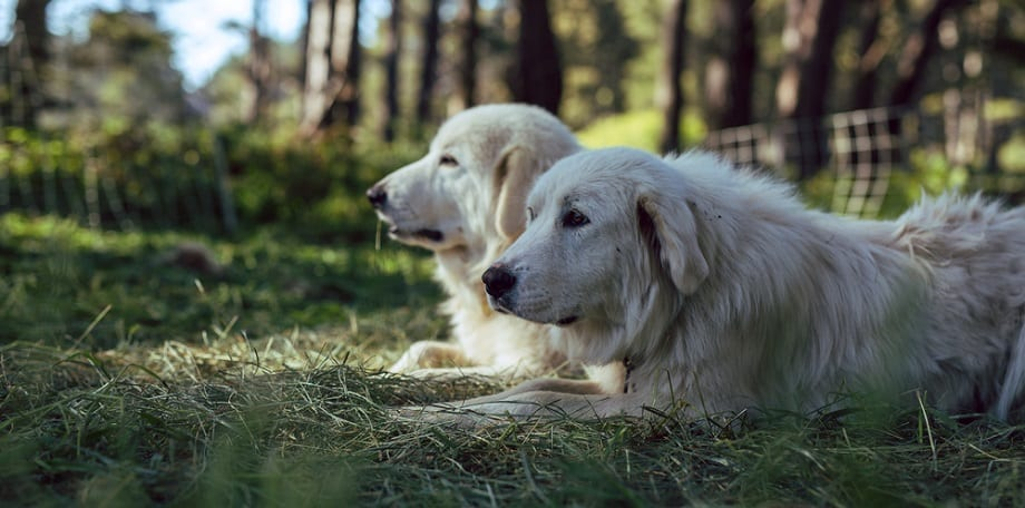 Great Pyrenees Growth Factors
