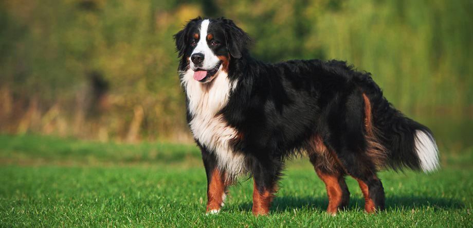 How Big Do Bernese Mountain Dogs Get