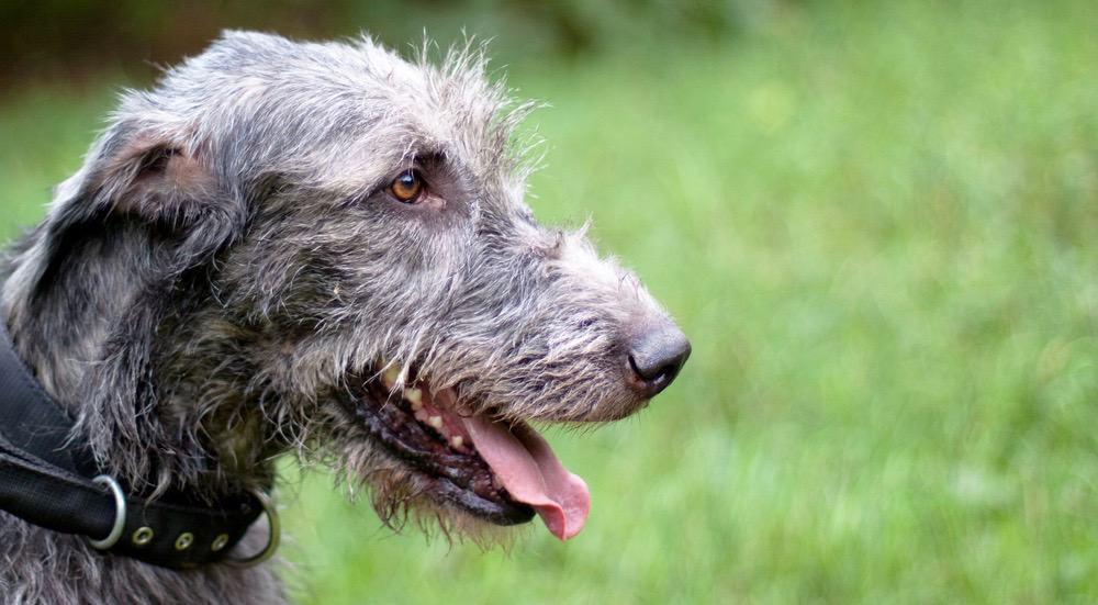 Irish Wolfhound Development