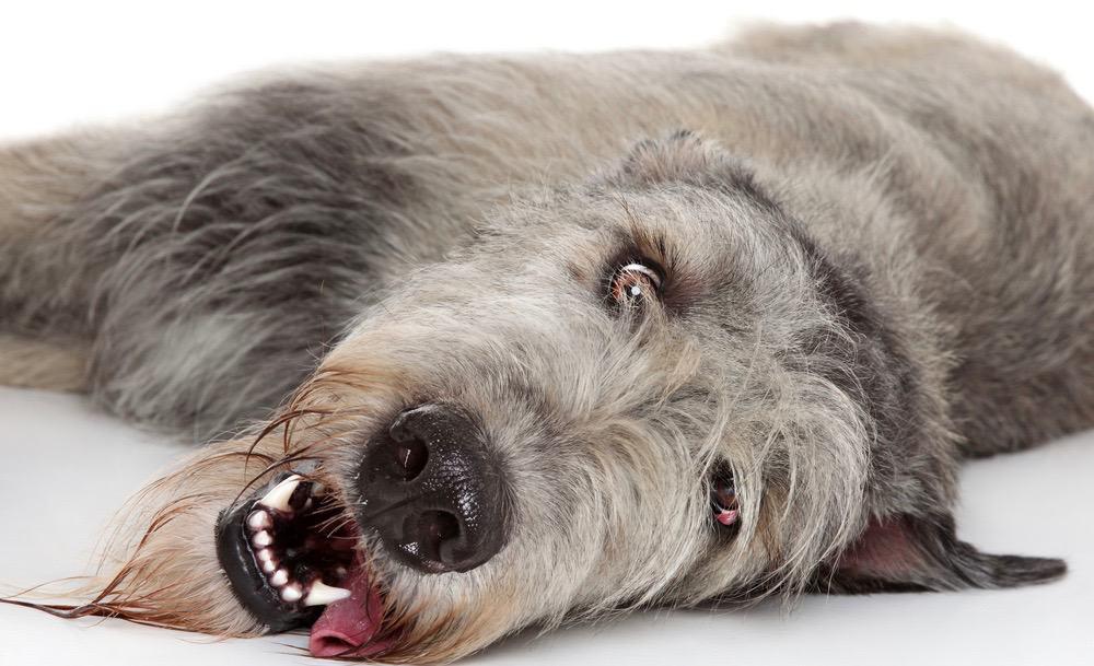 Irish Wolfhound Fully Grown
