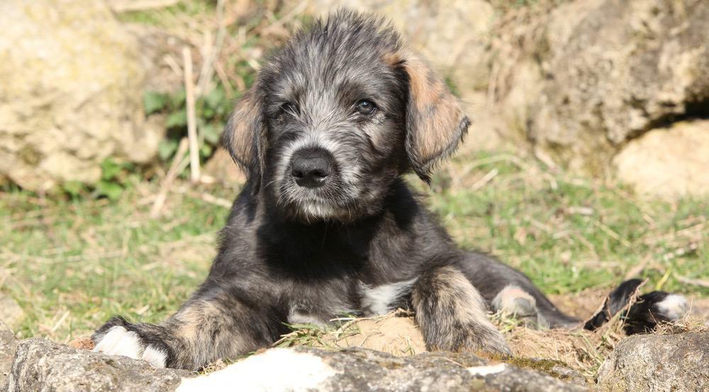 Irish Wolfhound Growth
