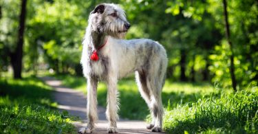 Irish Wolfhound Growth Chart