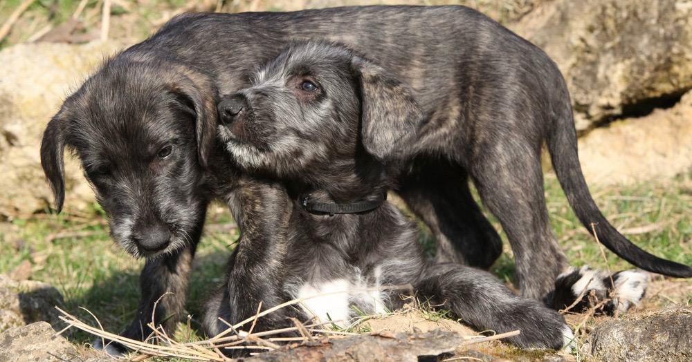 Irish Wolfhound Nutrition