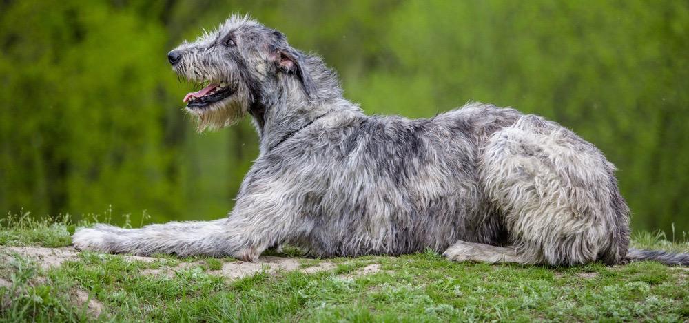 Irish Wolfhound Puppy Weight Chart