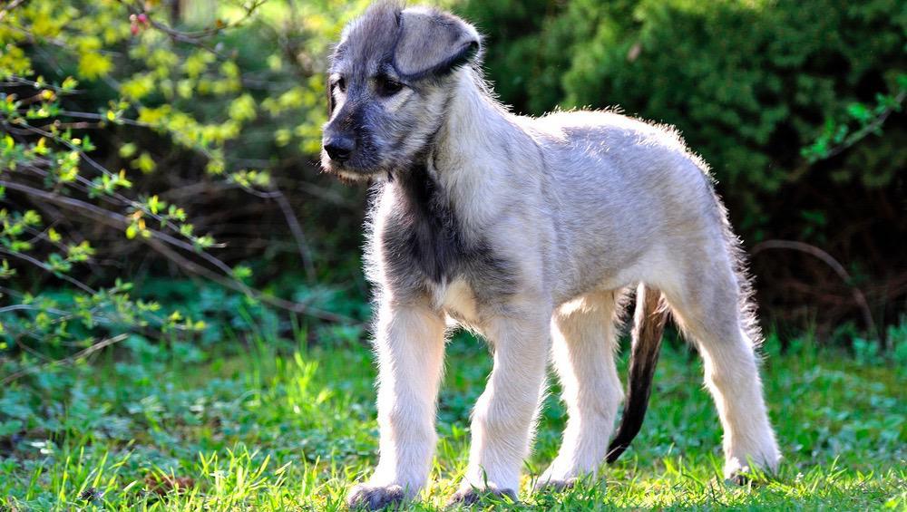 Irish Wolfhound Weight Chart