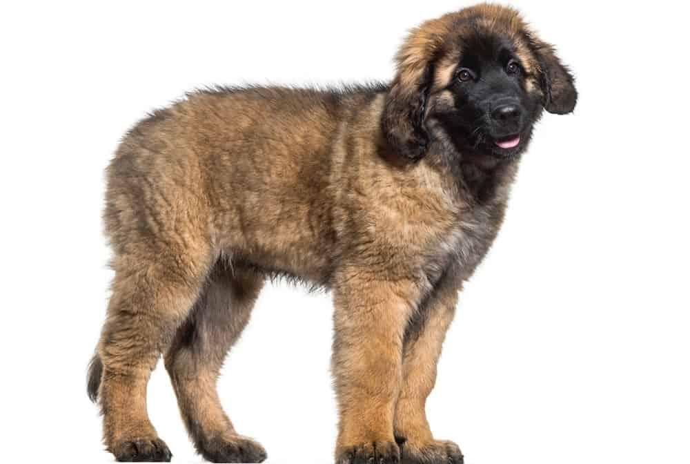 Leonberger Puppy Growth