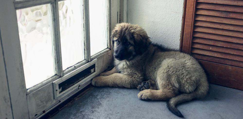 Leonberger Puppy Growth Chart