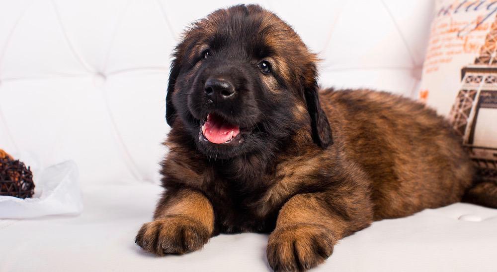Leonberger Puppy Weight Chart