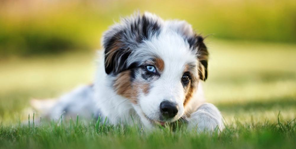 Mini Australian Shepherd Puppy Growth