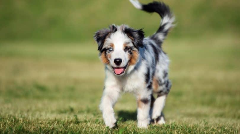 Mini Australian Shepherd GrowthChart