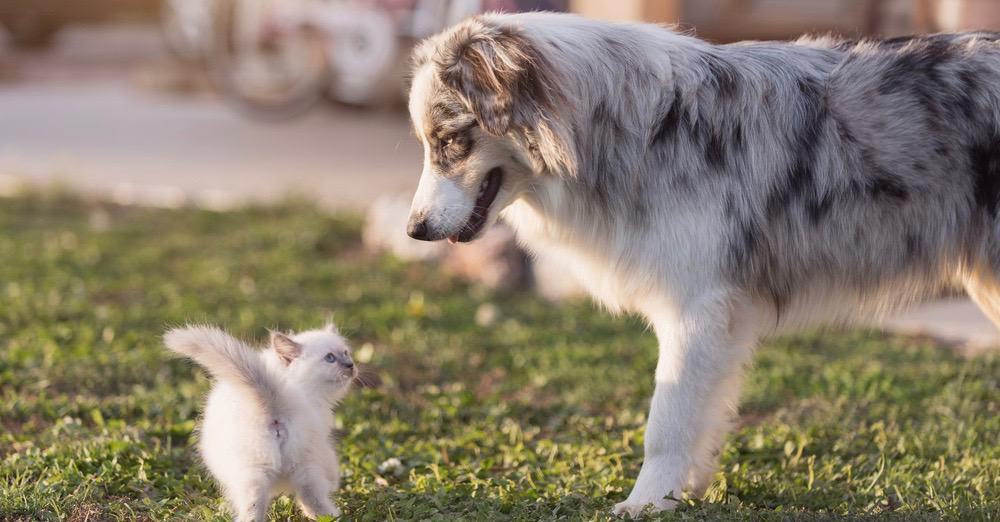 Mini Australian Shepherd Puppy Growth Chart