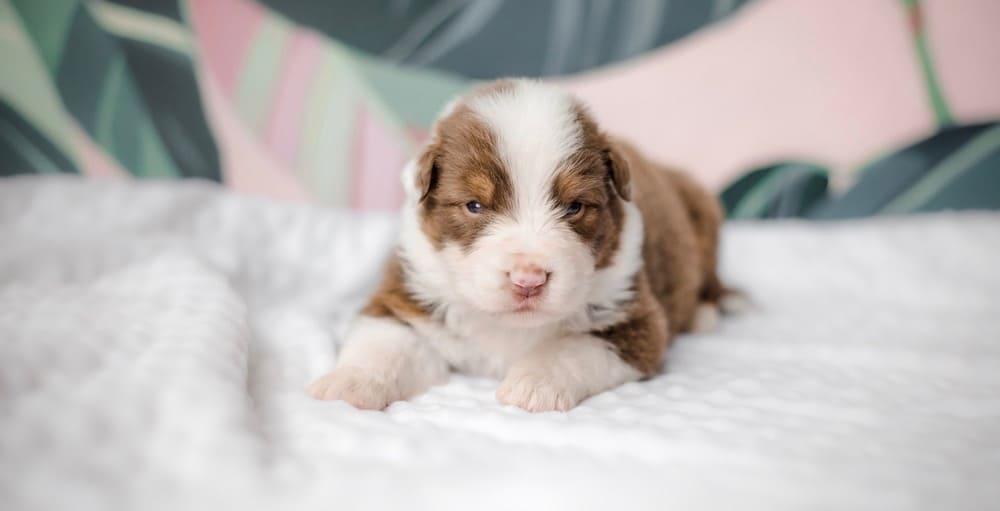 Mini Australian Shepherd Puppy WeightChart