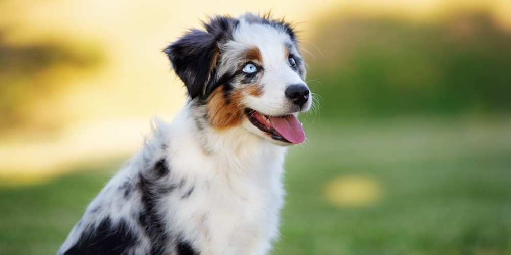 Mini Australian Shepherd Puppy Weight Chart