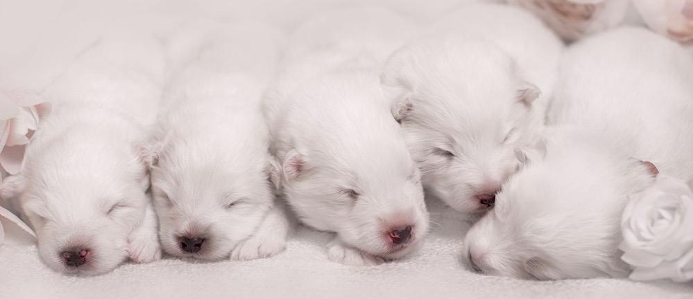 Samoyed Puppy Growth Chart