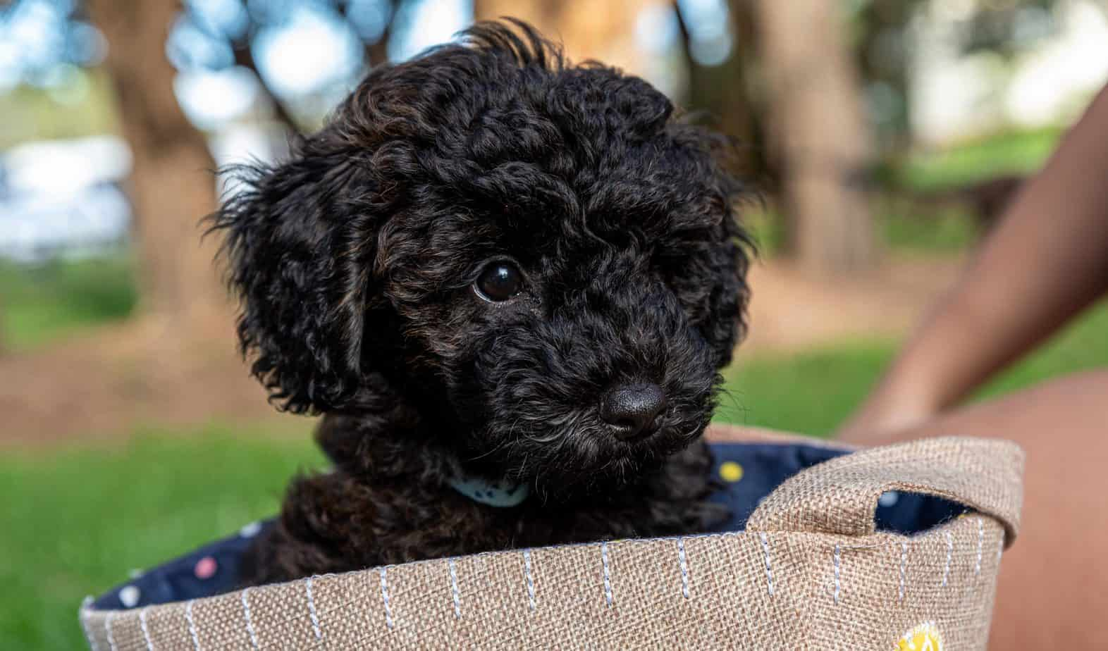 Schnoodle Weight Chart