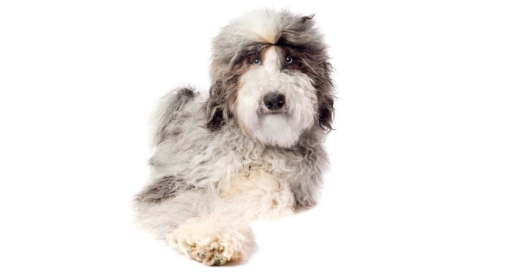 Sheepadoodle_Puppy_Growth_Chart