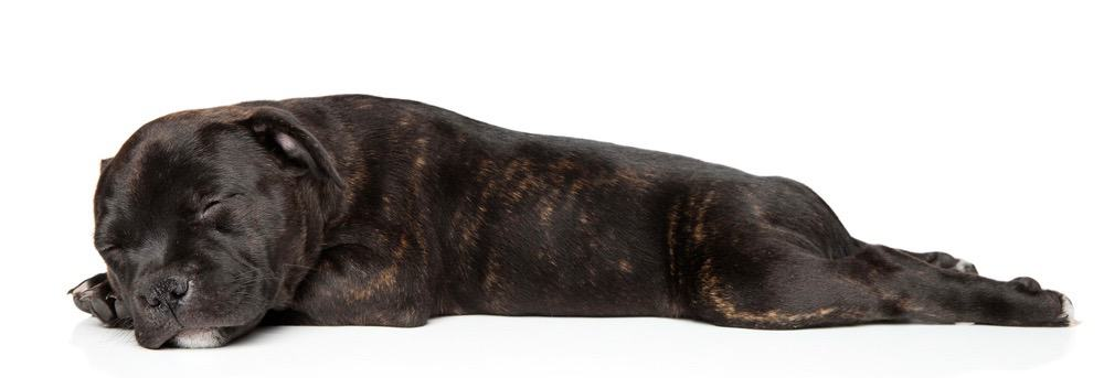 Staffordshire Bull Terrier Cost