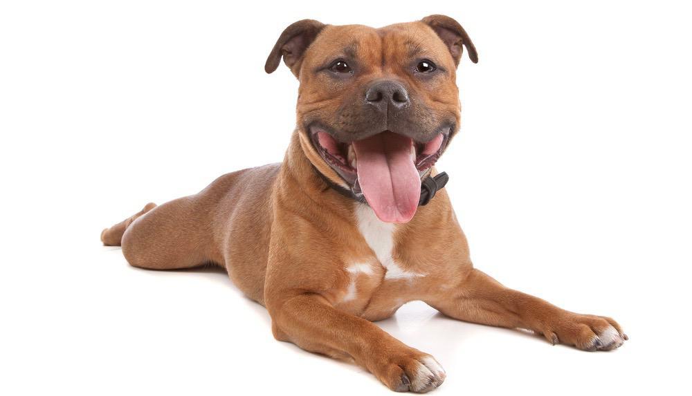 Staffordshire Bull Terrier Nutrition