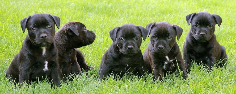 Staffordshire Bull Terrier Puppy Weight Chart