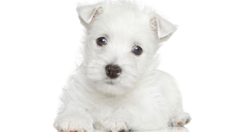 West Highland Terrier Development