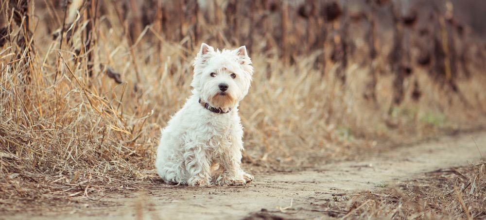 West Highland Terrier Fully Grown