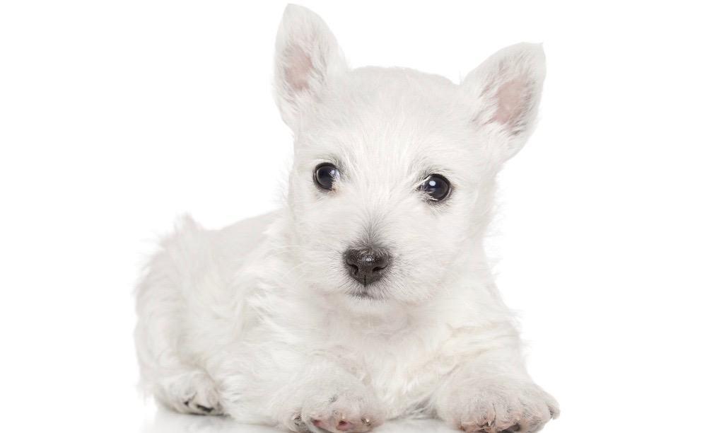 West Highland Terrier Growth