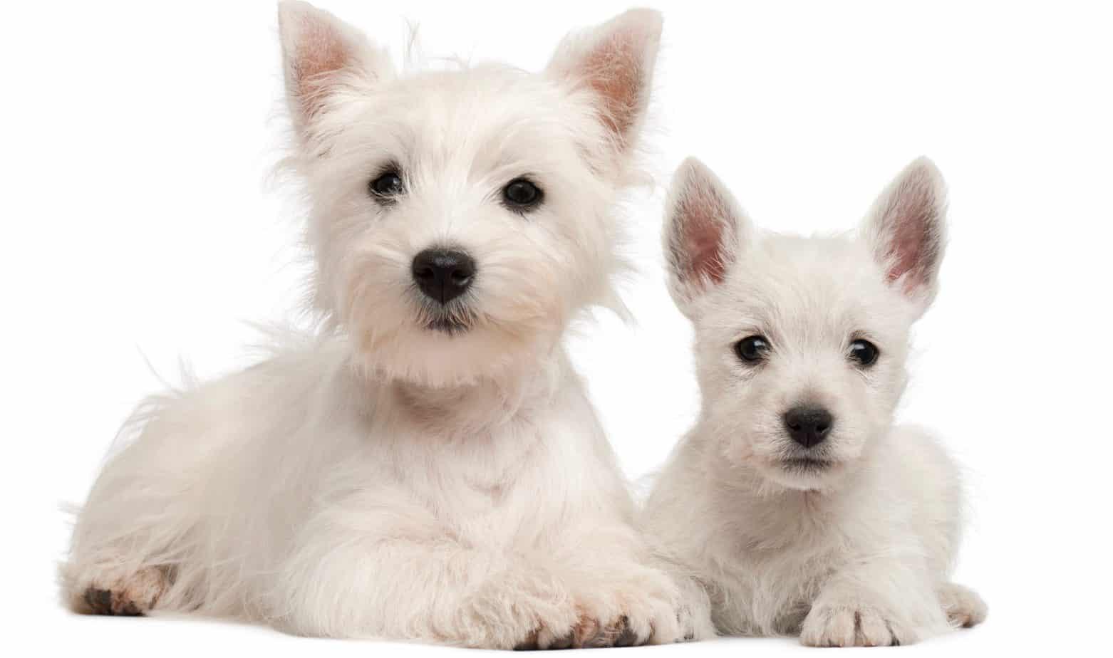 West Highland Terrier Puppy Growth Chart