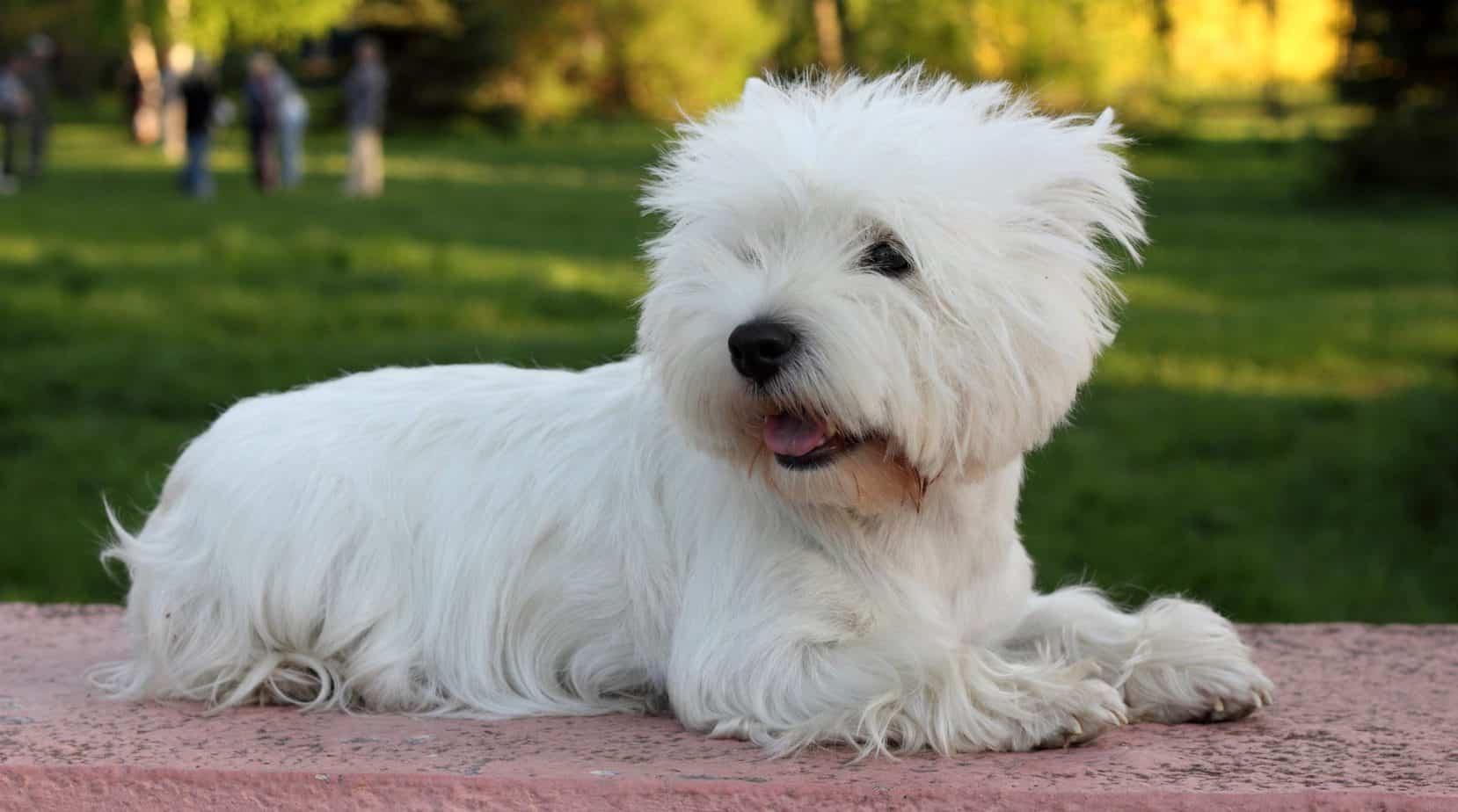 West Highland Terrier Puppy Weight Chart