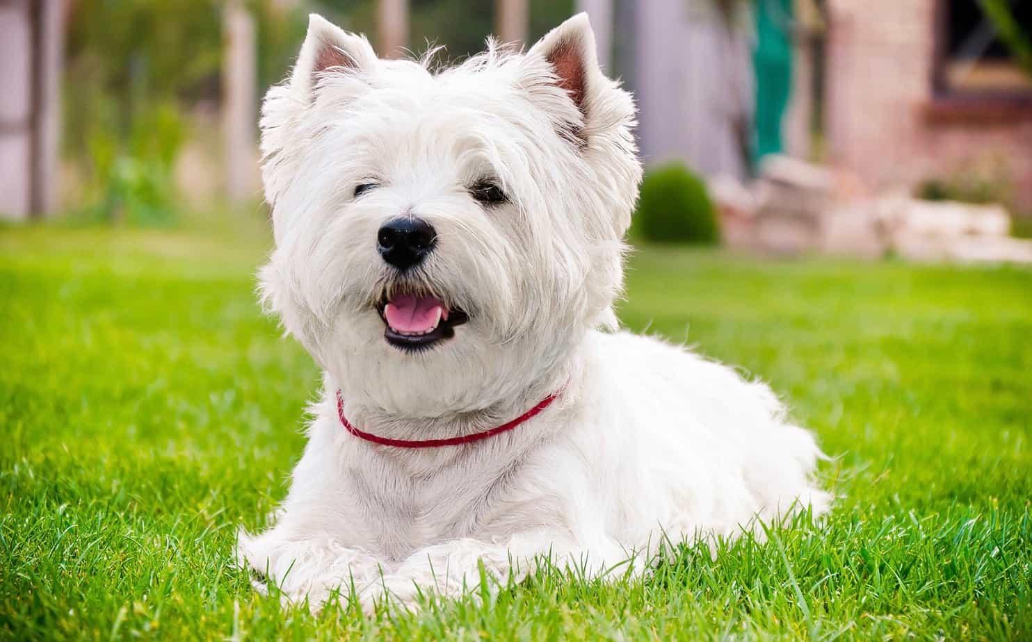 West Highland Terrier Weight Chart