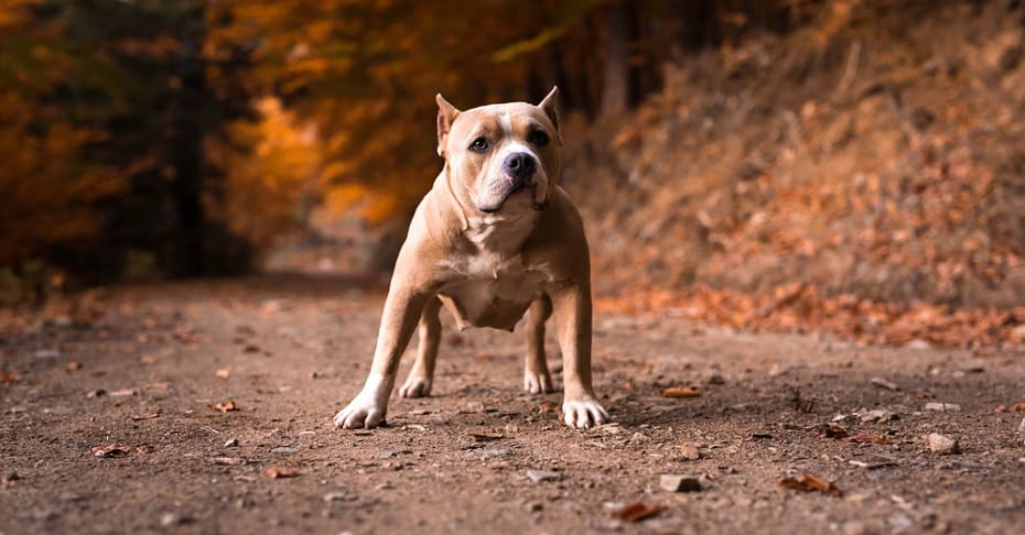 American Bully Life Expectancy