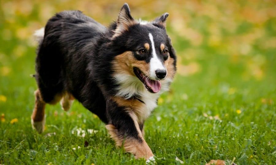 Australian Shepherd Tail & Health Issues