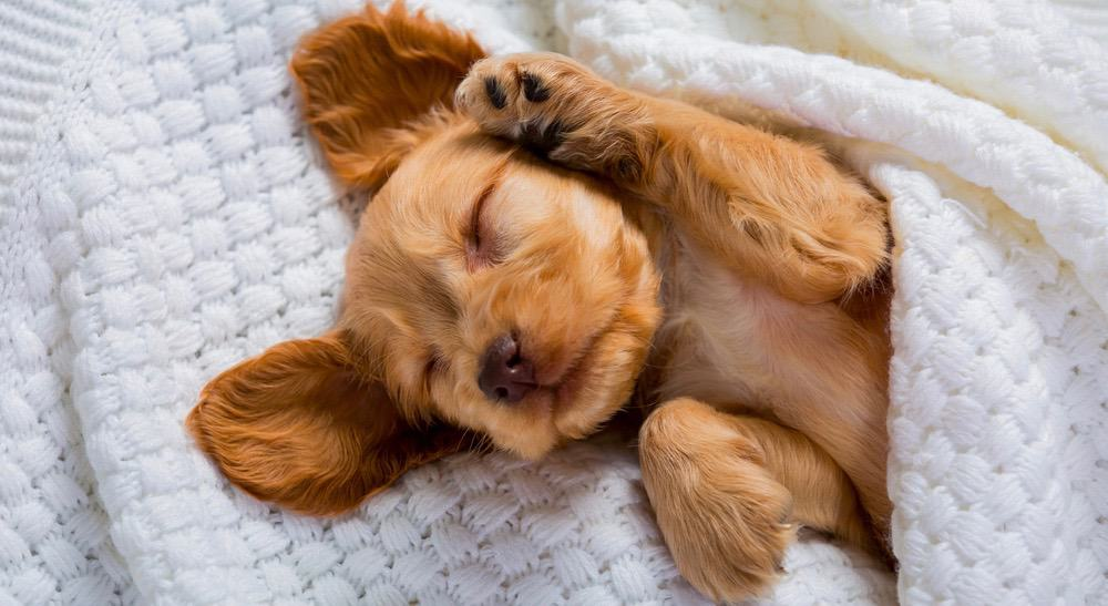 Brittany Spaniel Puppy Growth Chart