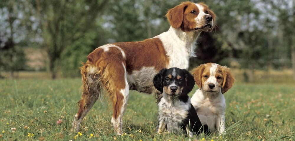 Brittany Spaniel Weight Chart
