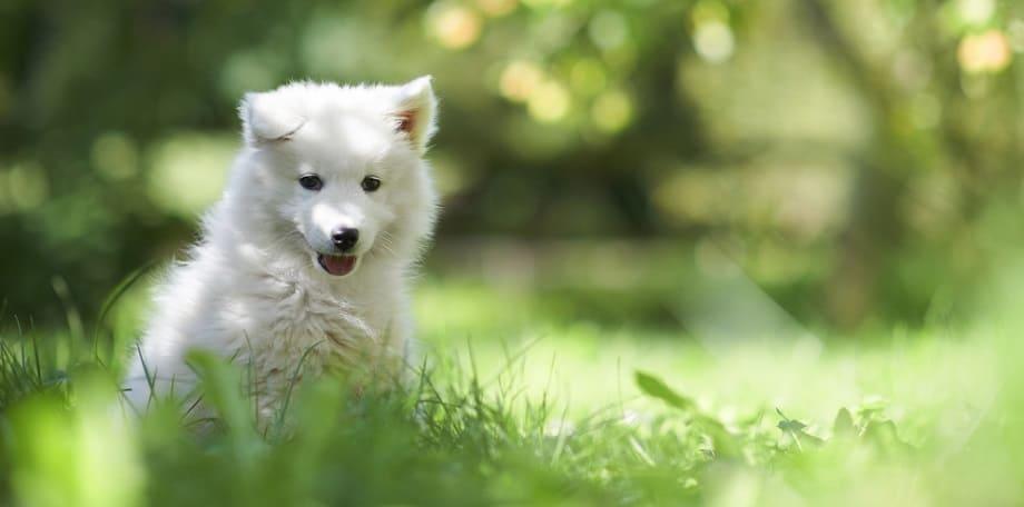 Puppy Adult Size Factors