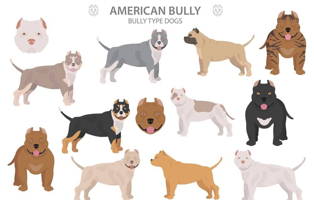 Different Types Of American Bully