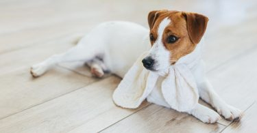Kennel Cough Contagious