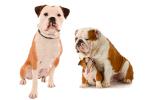 Olde English Bulldogge Vs English Bulldog